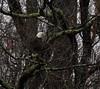 Bald Ealge (northamericaroks) Tags: outdoor tree plant moss lichen ealge raptor bird ave pajaro pond lake america virginia american wildlife nature animal