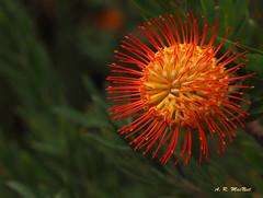 Pretty From Any Angle - Kula, Maui (Barra1man) Tags: protea pincushionprotea starburstprotea redprotea red prettyfromanyangle tropical tropicalflower nature garden upcountry kula maui hawaii unitedstates olympus olympusem1 iso640 lens300mm f5612000