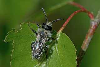 Andrena cineraria - the Ashy or Grey Mining Bee