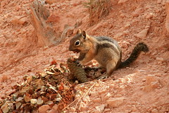 Golden-mantled ground squirrel eating pine cone (jlava88) Tags: goldenmantledgroundsquirrel