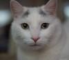 Serious Snowball (Soapbox Girl (Carol Anne)) Tags: cat feline cats felines kitty kitties kittycat kittycats white whitecat whitekitty whitefeline pet pets animal animals