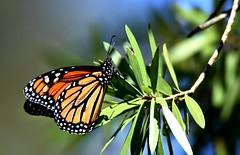 Monarch DSC_4132 (blthornburgh) Tags: thornburgh tampa florida nature outdoors garden monarch monarchdanausplexippus milkweedbutterfly butterfly backyard pattern