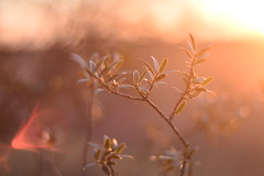 (Leela Channer) Tags: leaves golden glow sunset nature winter january cold light closeup sooc flare red yellow orange green branch twig bush shrub tree