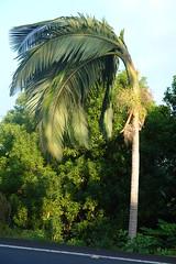 Manila palm (Veitchia merrillii): Boron deficiency (Scot Nelson) Tags: palm manila veitchiamerrillii boron b deficiency bending apex apical meristem