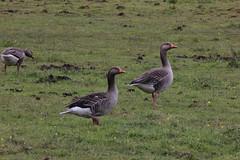 Meadows 052 (Slimboy Fat) Tags: geese unitedkingdom meadows goose gb whiston