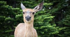 Deer Portrait (mfenne) Tags: park leica landscape washington wildlife hurricane images deer ridge national marlowe olympic fenne drala