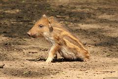 IMG_2950 (dirk.donnerstag) Tags: canon eos tamron 70200 wildschwein wildpark frischling 70d reken frankenhof