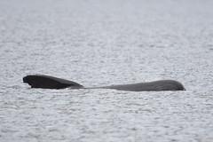 Long-finned pilot whale (amylewis.lincs) Tags: uk skye nature animal mammal scotland nikon britain wildlife sigma british d3 cetacean 2015 globicephalamelas 150500mm