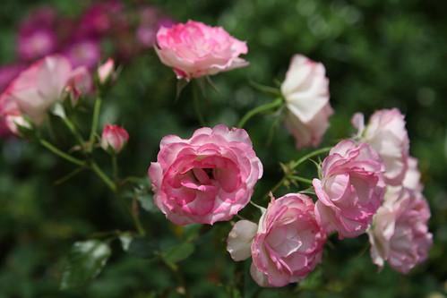 バラが咲いていました