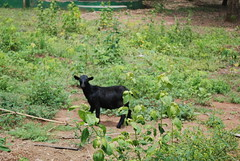 Tafi Atome Monkey Sanctuary - Volta Region, Ghana - Little Goat (jrozwado) Tags: africa goat ghana monkeysanctuary voltaregion tafiatome