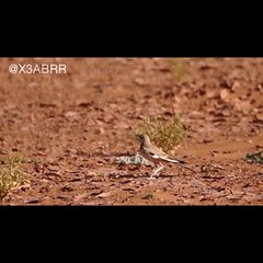 # # # # #_ #bird #video #sonyalpha # # #followher #followme #_ # #birds #ksa# (photography AbdullahAlSaeed) Tags: bird birds video ksa followme     sonyalpha   followher