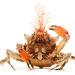 Graceful Kelp Crab