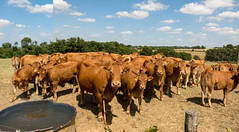 Cow panorama (Elise Swart) Tags: france animal animals cow cattle cows country meadow meadows vee frankrijk wei animaux fr campagne rund dieren bovine dier weiland vache bovines vaches limousin lafrance koe koeien dorst prs platteland pr kudde ldf runderen weilanden watergeven waterbak