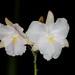 Broughtonia sanguinea var. alba – Alex Nadzan