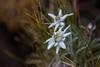 Edelweiss (bohnengarten) Tags: italien italy flower eos tau alpen blume regen edelweiss tropfen leontopodium alpinum 70d nivale