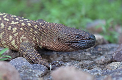 Mexican Beaded Lizard (DevinBergquist) Tags: nature sonora mexico hiking wildlife alamos fieldherping riofuerte herping mexicanbeadedlizard beadedlizard helodermahorridum