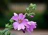 Pink is beautiful (Rick & Bart) Tags: pink flower nature canon drops flora gotas smörgåsbord malva kaasjeskruid rickbart thebestofday gününeniyisi rickvink eos70d
