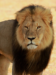 Cecil the Hwange Lion (paulafrenchp) Tags: