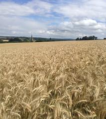 Corn fields before rain (Clare Larissa) Tags: blue sky white church sunshine clouds gold golden corn view bright wind horizon fluffy bluesky fields cornfields dazzling whipping billowing