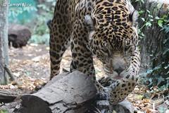 IMG_7744 (pinkystar_84) Tags: natura roar jaguar felini giaguaro animals animali mammals caccaitore predatore mammifero maculato manto pelliccia canon 700d colors colori