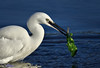 Little Egret with a fish and seaweed.(Sushi) (Explored). (spw6156 - Over 5,300,191 Views) Tags: little egret with fish seaweed iso 800cropped copyright steve waterhouse sushi explored
