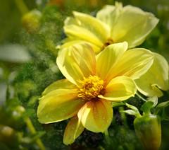 Dalien gelb - gespielt... (Stille Wasser) Tags: blüten dahlien sommendahlien gelb knospen blätter bearbeitet