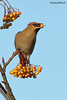 Bohemian waxwing, Bombycilla garrulus (Midlands Reptiles & British Wildlife Diaries) Tags: bohemian waxwing bombycilla garrulus staffordshire moorlands david nixon biddulph fauna forest ecology ltd canon 600mmf4 1x4 converter ornithology winter visitors birds snow cold scandanavia