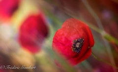 SooN (II) (frederic.gombert) Tags: poppy flower flowers plant spring bloom red color colors green light shadow winter sun sunlight macro nikon d810 1001nights