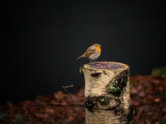 Little Robin on a pole..