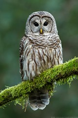 Barred Owl (www.connorstefanison.com) Tags: barred owl strix varia burnaby british columbia hibou rain forest moss lush temperate coastal raptor predator bird vertical perched