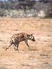 Namibia : Etosha, hyena #4 (foto_morgana) Tags: africa afrika afrique analogphotography analogefotografie animals ethosha hyena mammalia mammals mammifères namibia nature nikoncoolscan outdoor photographieanalogue safari säugetiere travelexperience vuescan wildlife zoogdieren