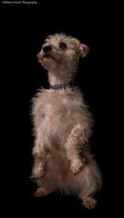 Bert (f.renxh) Tags: sigma 1770mm f2845 dc macro editing dog studio portrait pet circus skills beauty danger 70d flash metz flashgun fur texture canon eos bedlingtonterrior whippet schnauzer bert