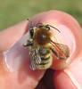 Bombus humilis male - Castlemartin Ranges, Pembrokeshire 2016b (Steven Falk) Tags: bombus humilis brownbanded carder bee apidae steven falk