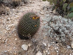 Barrel cactus (brewbooks) Tags: hiking arizona taxonomy:kingdom=plantae plantae taxonomy:clade=tracheophyta tracheophyta taxonomy:phylum=magnoliophyta magnoliophyta taxonomy:class=magnoliopsida magnoliopsida taxonomy:order=caryophyllales caryophyllales taxonomy:family=cactaceae cactaceae taxonomy:genus=ferocactus ferocactus barrelcacti biznagasdebarril taxonomy:common=barrelcacti taxonomy:common=biznagasdebarril inaturalist:observation=4979731