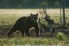 Ours (Samuel Raison) Tags: ours oursbrun bear brownbear wildlife nature animal finlande finland nikon nikond3 nikon4200400mmafsgvr