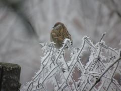 DSC00473 (tamasrafael) Tags: winter dér zúzmara veréb madár sparrow garden szarvas deer