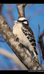 Downy Woodpecker (Dryobates pubescens) (PSYL Photography) Tags: downywoodpecker dryobatespubescens