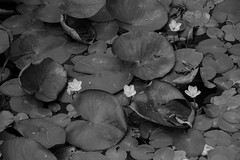 Scattered Waterlillies (janedsh) Tags: bw blackandwhite flora waterlily waterlillies flower