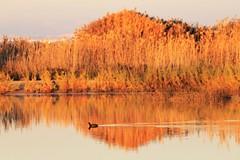 El Hondo (rromanivna) Tags: focha humedal pájaro pond elhondo spain alicante agua microreserva