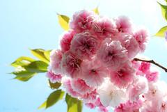 Still far off.... (DameBoudicca) Tags: tokyo tokio 東京 japan nippon nihon 日本 japón japon giappone shiba 芝 東京都港区 cherryblossom sakura kirschblüte 桜 japanischekirschblüte fleursdecerisier fiorediciliegio サクラ körsbärsblomma tree träd 木 baum arbre pink rosa rose ピンク flower blossom blomma blüte flor fiore fleur 花 はな sky himmel cielo ciel 空 spring vår frühling frühjahr primavera printemps 春 はる