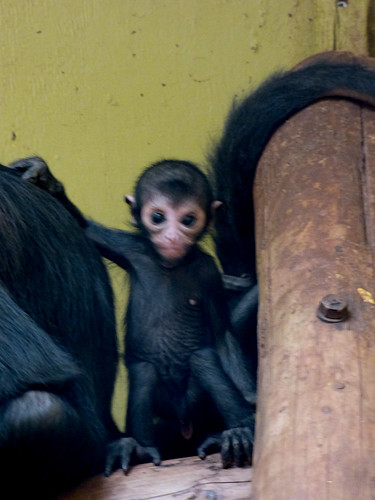 South Lakes Zoo - spider monkey baby (2)