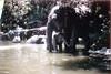 Disneyland 1967 (jericl cat) Tags: disneyland 1967 1960s jungle cruise elephant pool disney anaheim