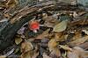 Ovolo malefico (Amanita muscaria), Fly Agaric (paolo.gislimberti) Tags: wood bosco sottobosco undergrowth fungi funghi foglie leaves alberisecchi deadleaves deadtrees fogliemorte