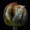 Tulip - at the other side of Christmas (Funchye) Tags: withered tulip flower nikon d610 105mm