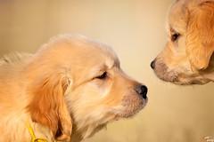 Lo sguardo è l'unica cosa che non invecchia mai (LightRapsody) Tags: golden retriver cani cuccioli dog dogs puppy