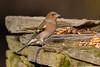 _F0A8025.jpg (Kico Lopez) Tags: fringillacoelebs galicia lugo miño pinzóncomún spain aves birds rio