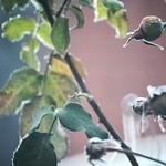 Feuilles et roses gelées thumbnail