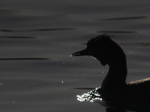 A Grebe called Charlie.