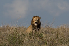 I AM the king of the castle (Ring a Ding Ding) Tags: 2017 africa bigcat lion nomad pantheraleo serengeti tanzania cat largemane male nature predator safari wildcat wildlife shinyangaregion coth ngc npc