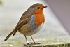 Robin Redbreast - Wirral, UK. (Paul_Dean) Tags: robin redbreast wirral uk cute friendly